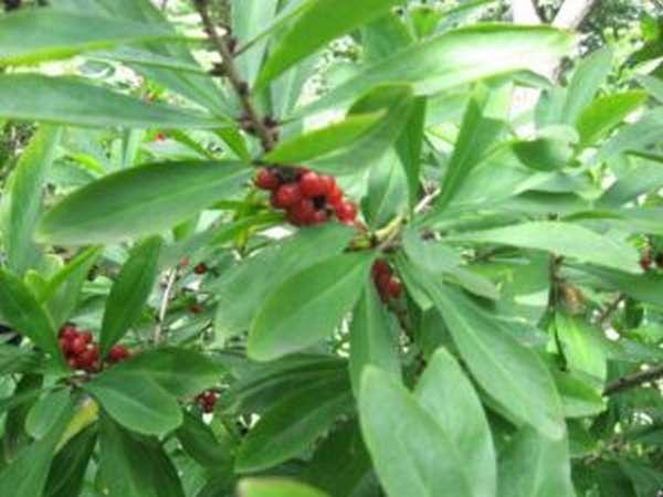 Ядовитое растение волчья ягода