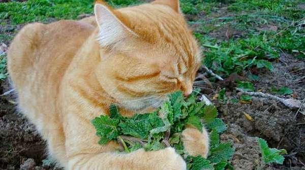 Кошка с мятой