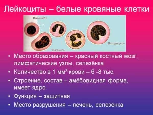 Разновидности лейкоцитов в крови, в чем их важность для человека?